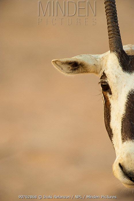 Half head  portrait of Arabian oryx (Oryx leucoryx) in Dubai, UAE