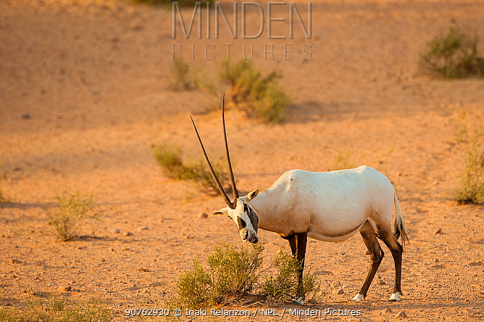 Arabian Oryx (Oryx leucoryx) grazing on a bush, Dubai, UAE, November.