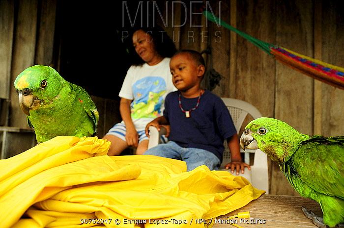 Pet Yellow-naped parrot (Amazona auropalliata) Rio Platano Biosphere Reserve and UNESCO World Heritage Site, La Mosquitia, Honduras