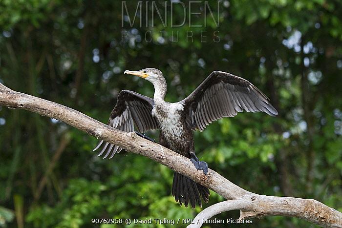 Neotropic cormorant (Phalacrocorax brasilianus) immature Chucunaque River, Darien National Park UNESCO World Heritage Site, Panama.