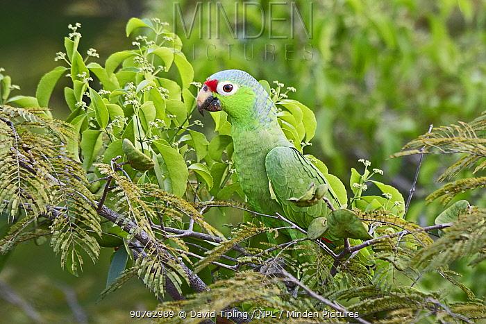 Red-lored parrot (Amazona autumnalis) Darien National Park UNESCO World Heritage Site, Panama.