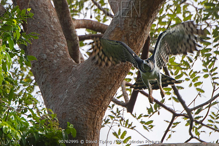Harpy eagle (Harpia harpyja) female in flight, Darien National Park UNESCO World Heritage Site, Panama.
