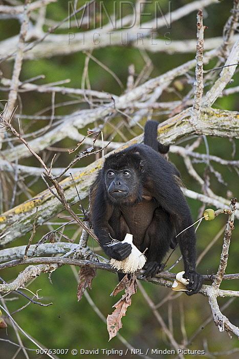 Mantled howler (Alouatta palliata) feeding on flower, Soberiana NP,  Panama.