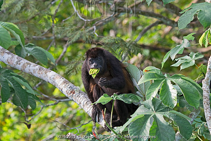 Mantled howler (Alouatta palliata) feeding on leaves, seen from Canopy tower, Soberiana NP,  Panama.