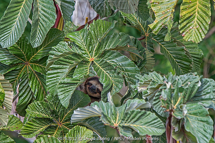 Brown-throated sloth  (Bradypus variegatus) male peering through leaves, seen from Canopy Tower, Soberiana NP,  Panama.