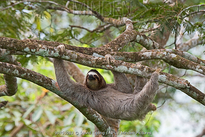 Brown-throated sloth  (Bradypus variegatus) female. seen from canopy tower, Soberiana NP,  Panama.