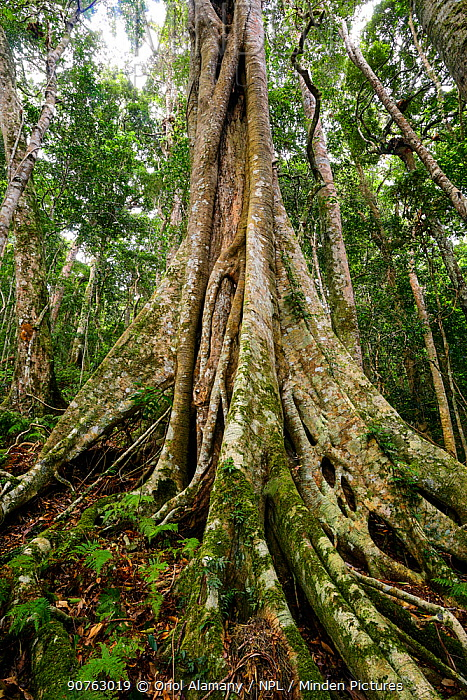 Strangler fig (Ficus sp) growing over Hoop Pine tree(Araucaria cunninghamii) in  rainforest on Morans Falls Track, Green Mountains, Lamington National Park, Rainforests of Australia UNESCO World Heritage Site, Queensland, Australia