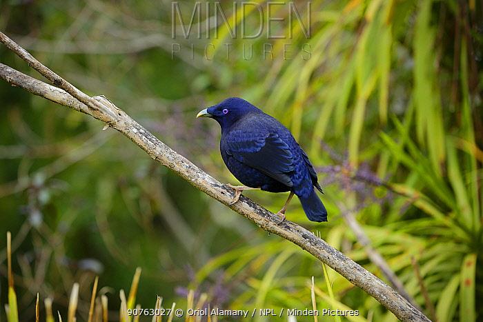 Satin bowerbird (Ptilonorhynchus violaceus), Green Mountains rainforest, Lamington National Park, Rainforests of Australia UNESCO World Heritage Site, Queensland, Australia