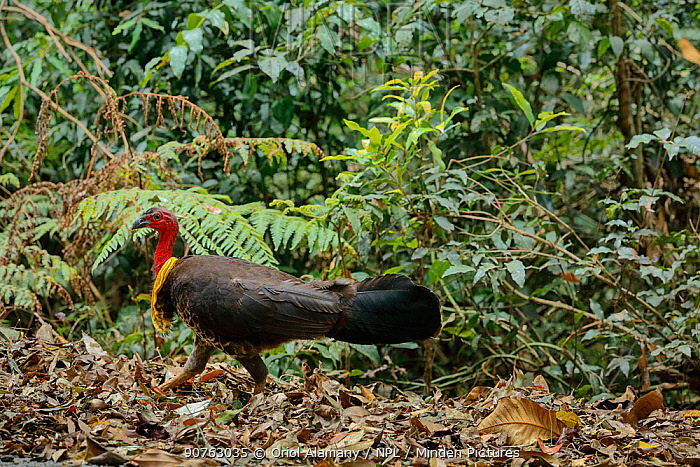 Australian Brush-turkey (Alectura lathami), male digging for food on the forest floor, Green Mountains rainforest, Lamington National Park, Rainforests of Australia UNESCO World Heritage Site, Queensland, Australia