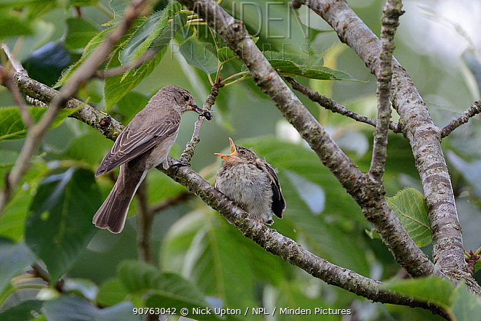 Spotted flycatcher (Muscicapa striata) feeding a solitary bee to its chick which has just left the nestbox, Cornwall, UK, August.