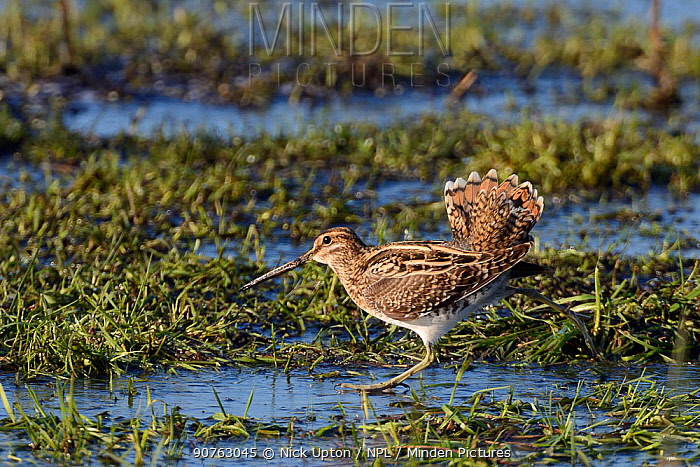 Common snipe (Gallinago gallinago) walking on frozen flooded marshland to chase off another with its tail raised in a display, Greylake RSPB reserve,  Somerset Levels, UK, January.