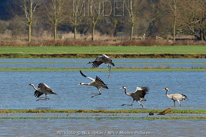 Common / Eurasian cranes (Grus grus) released by the Great Crane Project landing to forage on flooded pastureland, Aller moor, Somerset Levels, UK, February.