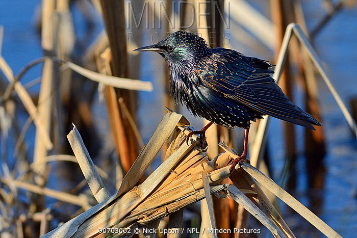 Common starling (Sturnus vulgaris) foraging on an old Bulrush stem in search of insects in a frozen marsh, Greylake RSPB reserve,  Somerset Levels, UK, January.