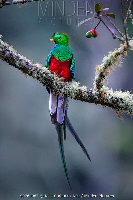 Male Resplendent Quetzal (Pharomachrus mocinno) in cloud forest. Los Quetzales National Park, Savegre River Valley, Talamanca Range, Costa Rica, Central America.
