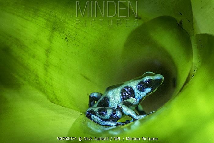 Green-and-Black Poison Dart Frog (Dendrobates auratus) inside bromiliad. Boca Tapada, Caribbean slope, Costa Rica, Central America.