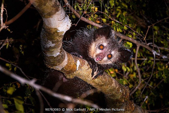 Adult Aye-aye (Daubentonia madagascariensis) active in forest canopy at night. Dry deciduous forest near Andranotsimaty. Daraina, northern Madagascar. Critically Endangered species