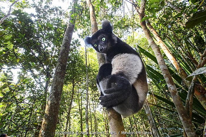 Male Indri (Indri indri) in forest understorey. Mitsinjo Reserve, Andasibe-Mantadia National Park, eastern Madagascar. Endangered species
