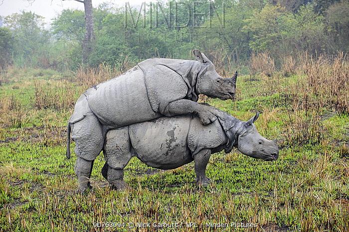 Male and female Great One-horned Rhinoceros (Rhinoceros unicornis) mating . Kaziranga National Park, Assam, India.
