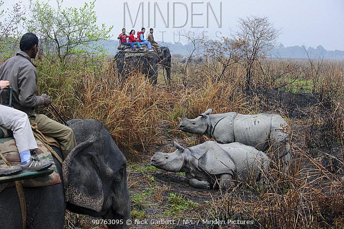 Tourists riding domestic Indian elephant (Elephas maximus) watching male and female Great One-horned Rhinoceros (Rhinoceros unicornis) - courting pair. Kaziranga National Park, Assam, India.