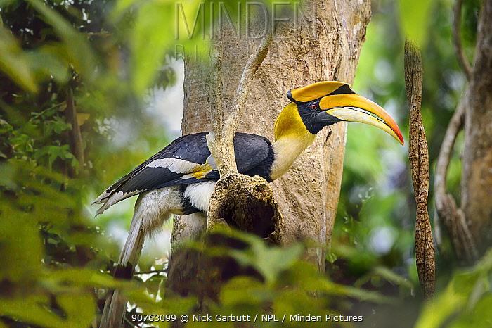 Great Indian Hornbill (Buceros bicornis) in forest canopy. Kaziranga National Park, Assam, India.