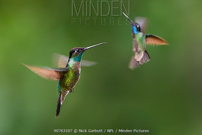 Male Magnificent hummingbirds (Eugenes fulgens) hovering  in flight. Montane forest, Bosque de Paz, Caribbean slope, Costa Rica, Central America.