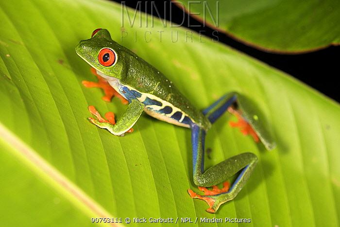 Female Red-eyed Tree Frog (Agalychnis callidryas) - Caribbean slope race (blue flanks). Mid-altitude rainforest near Aranal, central Costa Rica.