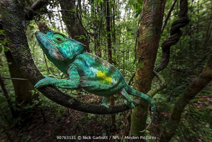 Parson's Chameleon (Calumma parsonii) climbing in rainforest understorey, with blurred motion. Andasibe-Mantadia National Park, eastern Madagascar.