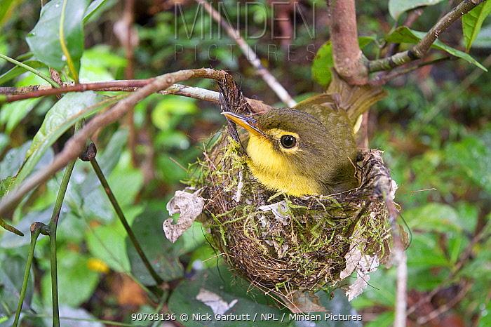 Spectacled Tetraka (Xanthomixis zosterops) (family Bernieridae) incubating eggs on the nest. Mantadia National Park, eastern Madagascar.
