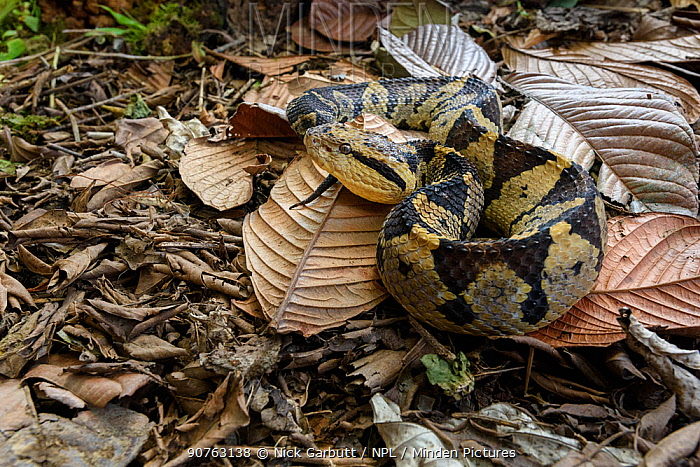 Adult Jumping Viper (Atropoides mexicanus)  camouflaged amongst leaf litter on the rain forest floor. Pacific slope, Costa Rica, Central America. (highly venomous)