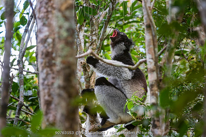 Adult Indri (Indri indri) territorial calling in the rainforest canopy. Andasibe-Mantadia National Park, eastern Madagascar.