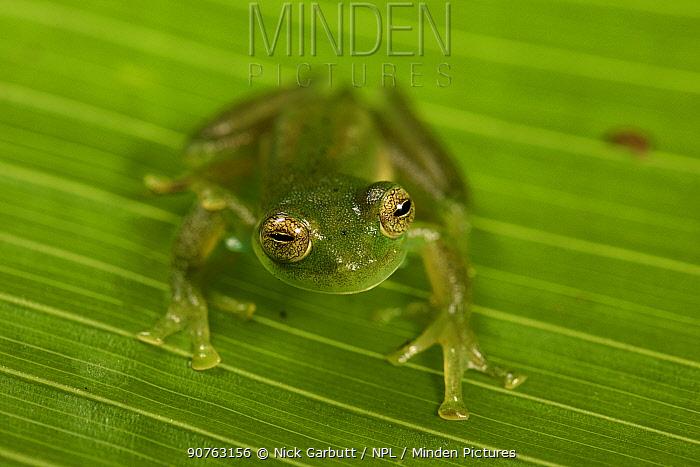 Emerald Glass Frog (Centrolenella proseblepan) on leaf. Mid-altitude rainforest, Bosque de Paz, Pacific slope, Costa Rica, Central America.