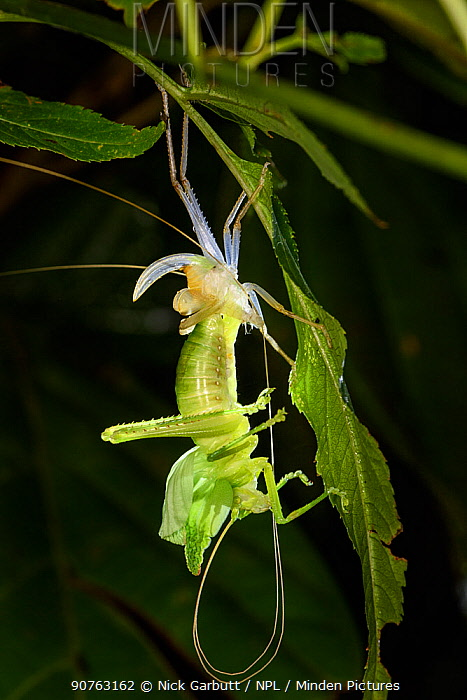 Leaf mimic bush cricket or 'katydid' (unknown species, family Tettigoniidae) in the middle of moulting its skin. Moulting from one sub-adult stage (instar) to another is known as ecdysis. Montane rainforest, Bosque de Paz Lodge, Caribbean slope, Costa Rica.