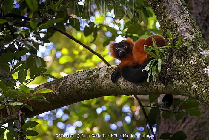 Adult Red Ruffed Lemur (Varecia rubra) resting in rainforest canopy. Masoala National Park, north east Madagascar. Endangered.