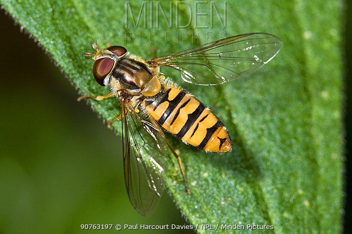 Hoverfly (Episyrphus balteatus) on leaf .Podere Montecucco, near Orvieto, Umbria, Italy, July
