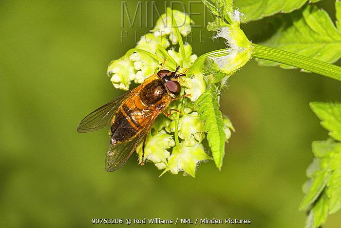 Hoverfly (Epistrophe eligans) feeding on cow parsley, Lewisham, London, England, UK, May.