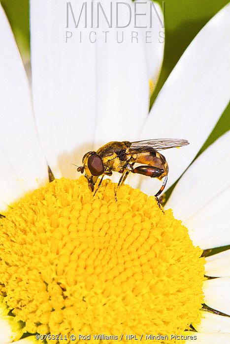 Thick-legged Hoverfly (Syritta pipiens) feeding on ox-eye daisy Lewisham, London, England, UK, June.