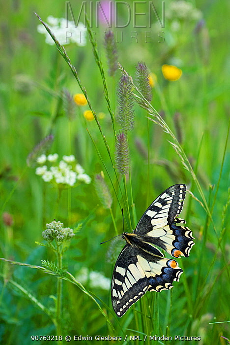 Common swallowtail butterfly (Papilio machaon) Aosta Valley, Gran Paradiso National Park, Italy.