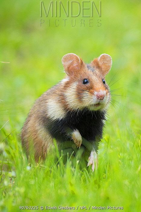 European hamster (Cricetus cricetus) Austria.