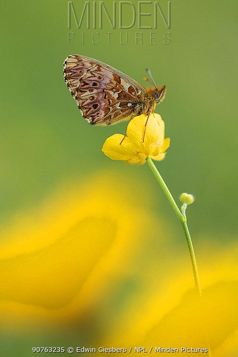 Titania's fritiallary butterfly (Boloria titania) on buttercup, Aosta Valley, Gran Paradiso National Park, Italy.
