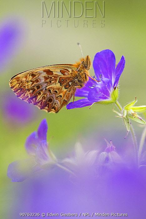 Titiana's fritiallary butterfly (Boloria titania) Aosta Valley, Gran Paradiso National Park, Italy.