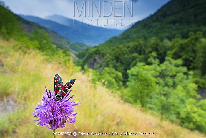 Burnet moth (Zygaena carniolica) on knapweed, in mountain habitat, Aosta Valley, Gran Paradiso National Park, Italy.