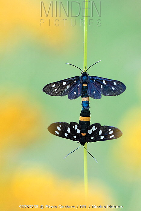 Nine spotted moth (Amata phegea) pair mating, Aosta Valley, Gran Paradiso National Park, Italy.