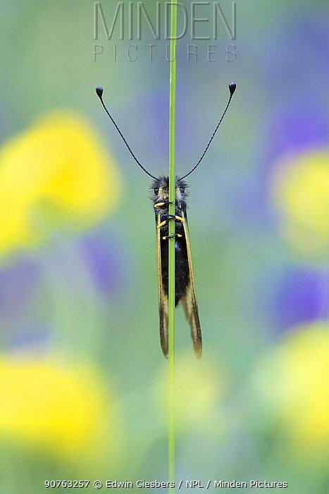 Owlfly (Libelloides coccajus) resting, Aosta Valley, Gran Paradiso National Park, Italy.