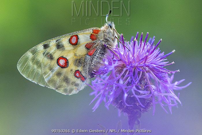 Apollo butterfly (Parnassius apollo) on knapweed flower, Aosta Valley, Gran Paradiso National Park, Italy.