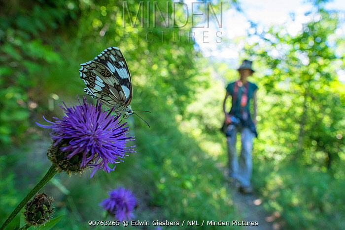 Marbled white butterfly (Melanargia galathea) with woman walking in the background. Aosta Valley, Gran Paradiso National Park, Italy.