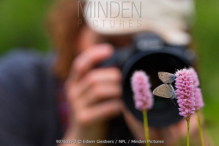 Photographer taking picture of Iolas blue butterflies (Iolana iolas) pair mating, Aosta Valley, Gran Paradiso National Park, Italy.
