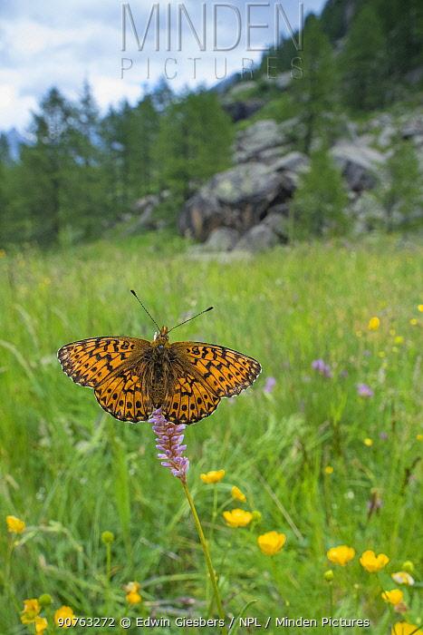 Titania's fritiallary butterfly (Boloria titania) in habitat, Aosta Valley, Gran Paradiso National Park, Italy.