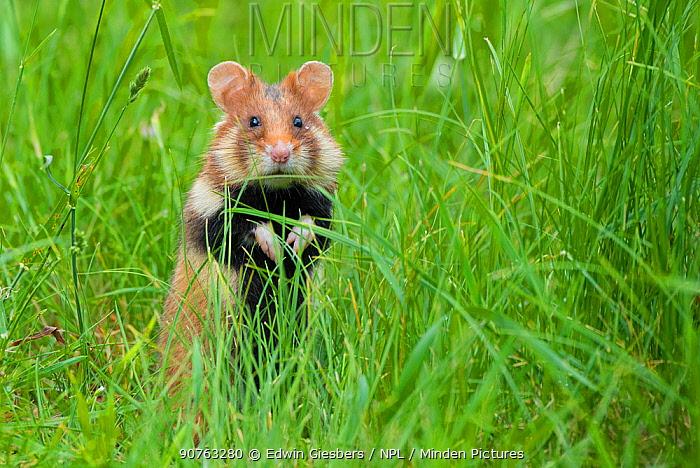 European hamster (Cricetus cricetus) in grass, Vienna, Austria.