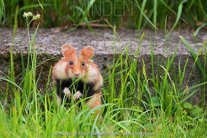 European hamster (Cricetus cricetus) in graveyard, with cheek pouches full, Vienna, Austria.