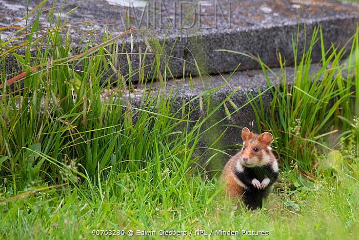 European hamster (Cricetus cricetus) in graveyard, Vienna, Austria.